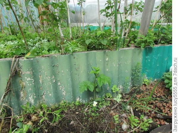 Полезные свойства корня малины: что лечит, особенности употребления