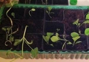 Выращивание рассады арбузов в домашних условиях