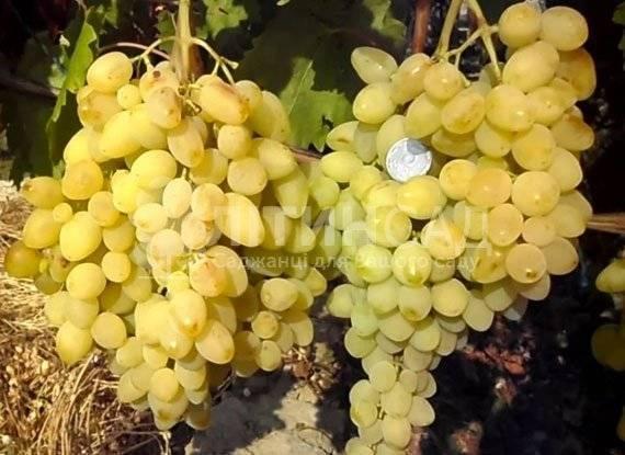 Виноград долгожданный: характеристика и описание сорта