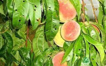 Клястероспориоз: грибные заболевания плодовых культур