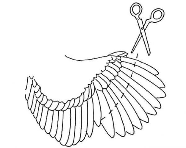 Как правильно подрезать крылья курам, индюкам, уткам, чтобы не летали