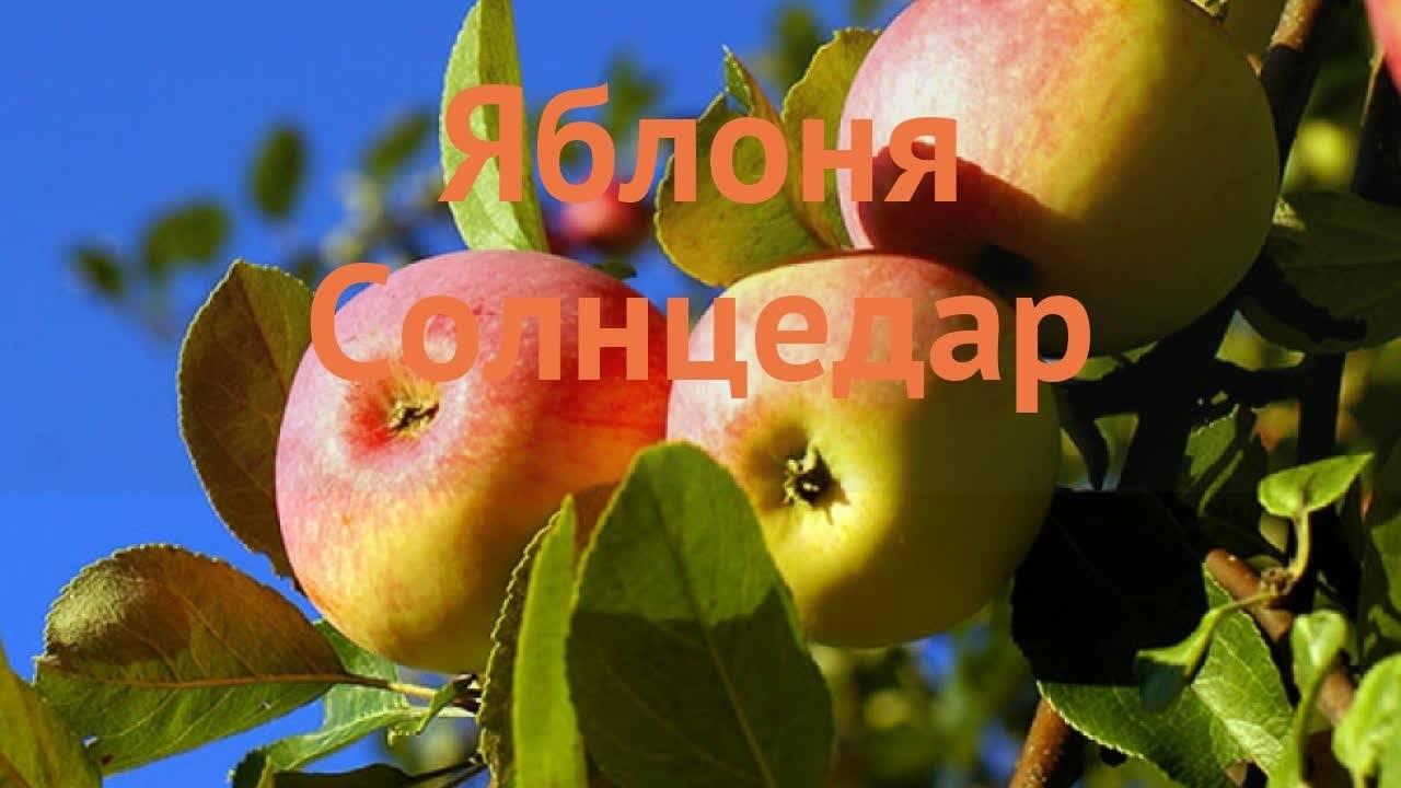 допустить инфицирование яблоня янтарь описание фото отзывы посадка знаю