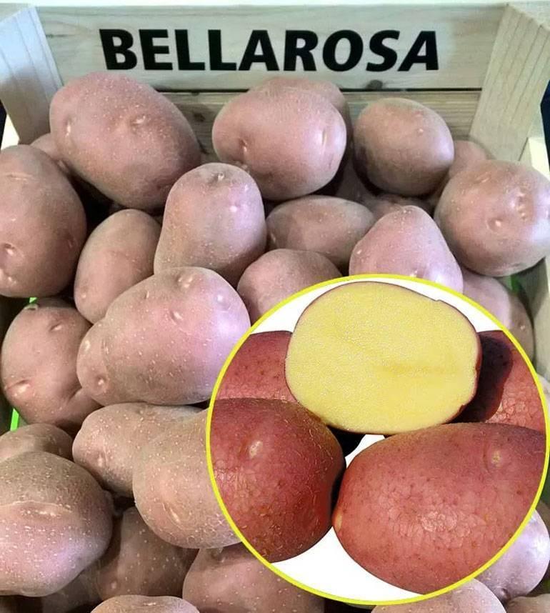 Сорт картофеля беллароза - общая информация - 2020