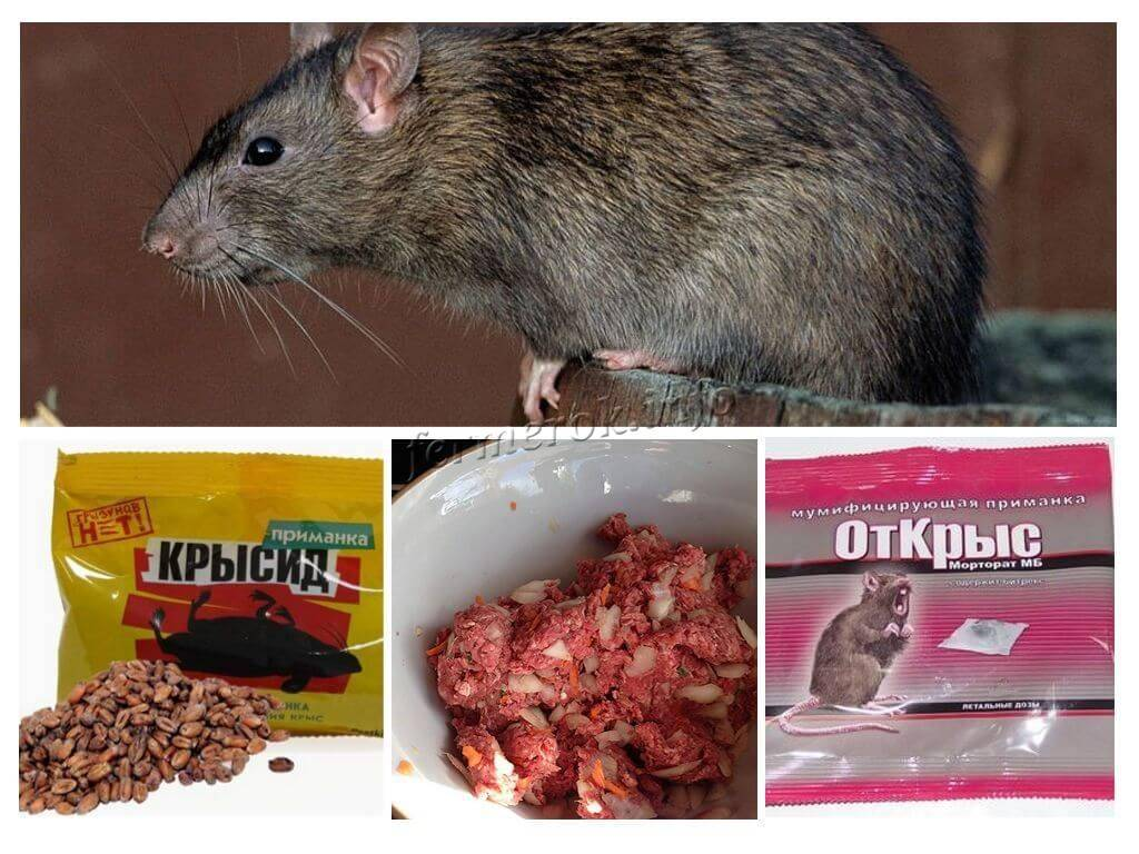 Что делать с крысами в сарае с курами, как защитить курятник от хорька и ласки