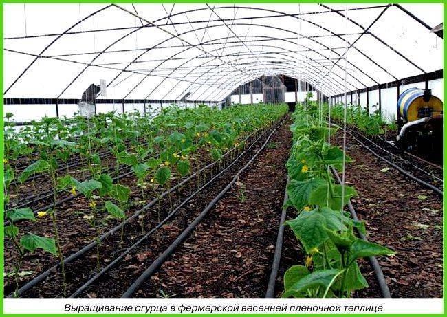 Выращивание огурцов в теплице: пошаговая инструкция + видео