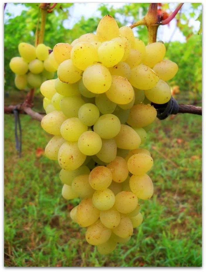 """Виноград """"плевен"""": описание сорта и фото, советы по противодействию болезням и вредителям"""