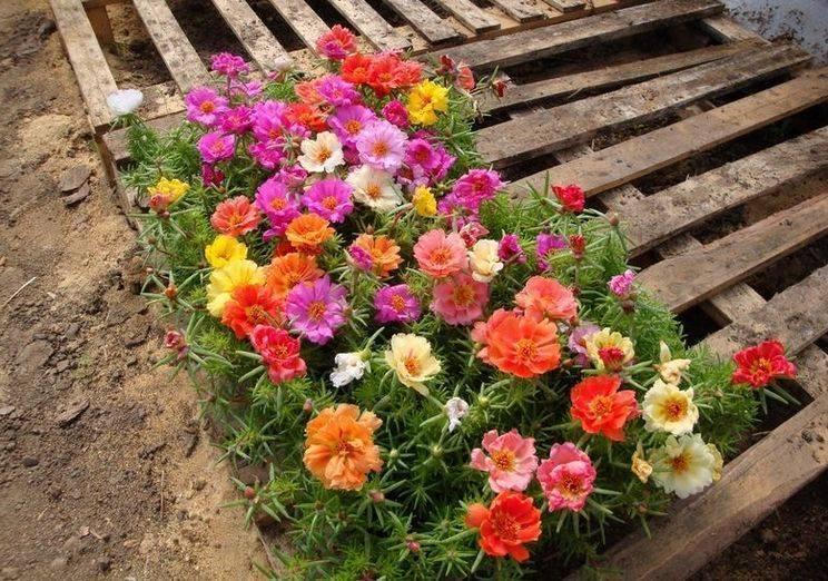 Можно ли выращивать портулак как комнатное растение