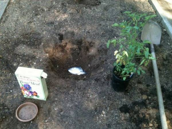 Удобрения для томатов в открытом грунте
