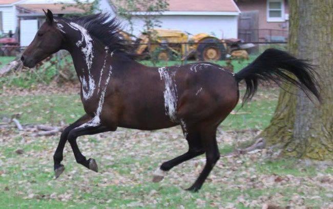 Самая дорогая лошадь в мире (50 фото): какая порода коней, арабский скакун, лучший в россии