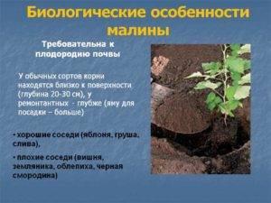 Способ посадки малины в траншеи