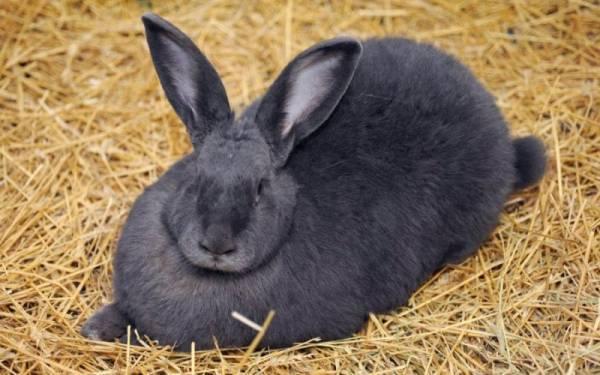 Кокцидиоз у кроликов, кур и коров: симптомы и лечение | все о паразитах