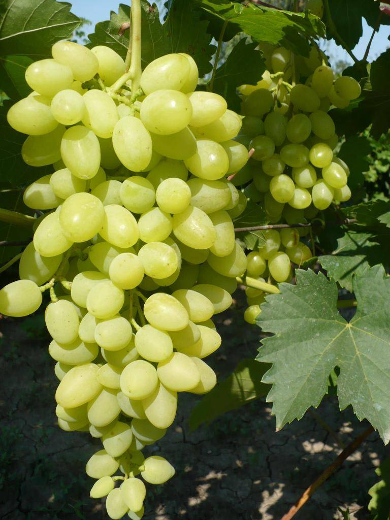 Неприхотлив, надёжен, устойчив, благороден — это всё о винограде «августин»