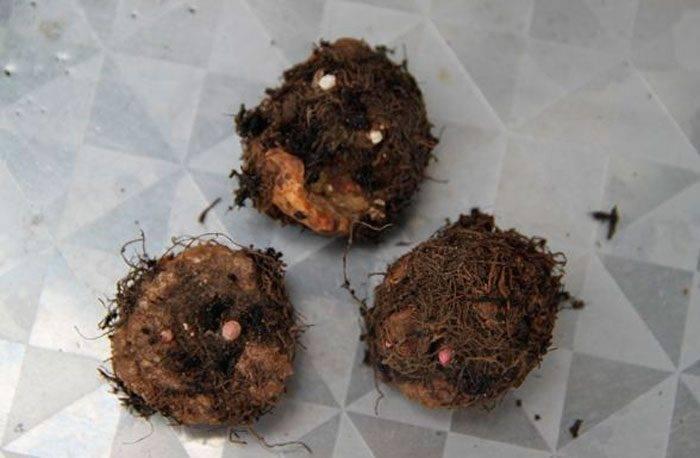 Бегония клубневая: выращивание и размножение