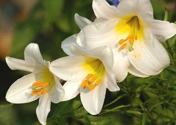 Лилии: фото садовых цветов с описанием