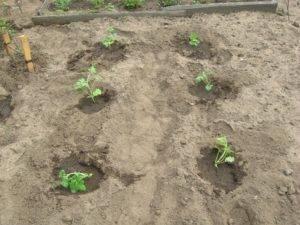Как правильно посадить арбузы в открытый грунт