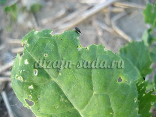 Календарь обработки капусты от болезней и вредителей