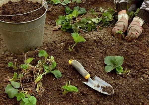Как подготовить почву для посадки клубники в открытом грунте, домашних условиях