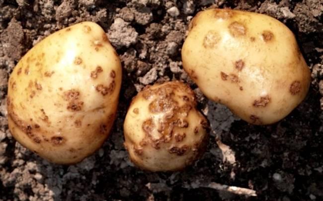 Какие бывают болезни картофеля