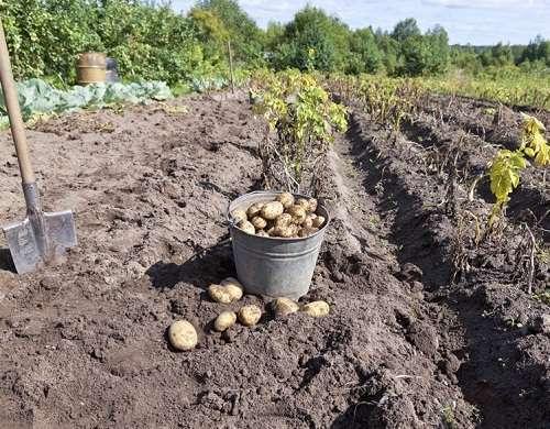 Копать картошку в огороде