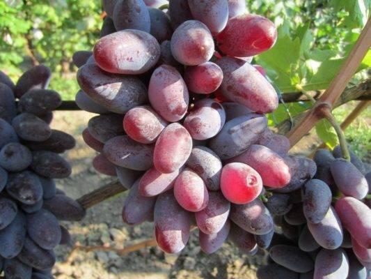 Описание сорта винограда Байконур: особенности и условия содержания