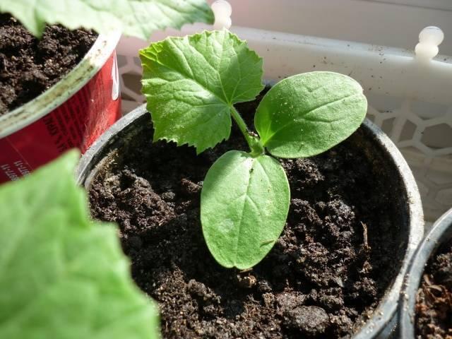 Когда сажать огурцы на рассаду: расчет сроков посева семян, подготовка перед посадкой, уход и пересадка на постоянное место