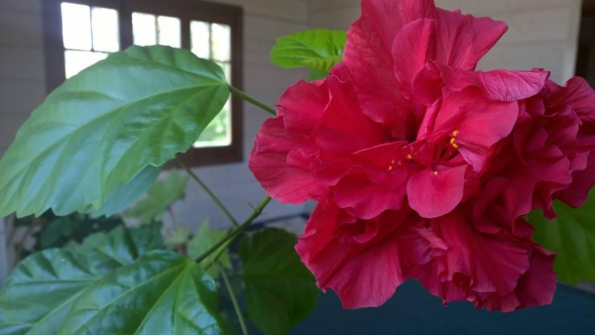 Почему гибискус цветок смерти – мнение специалистов фен-шуй и существующие мифы