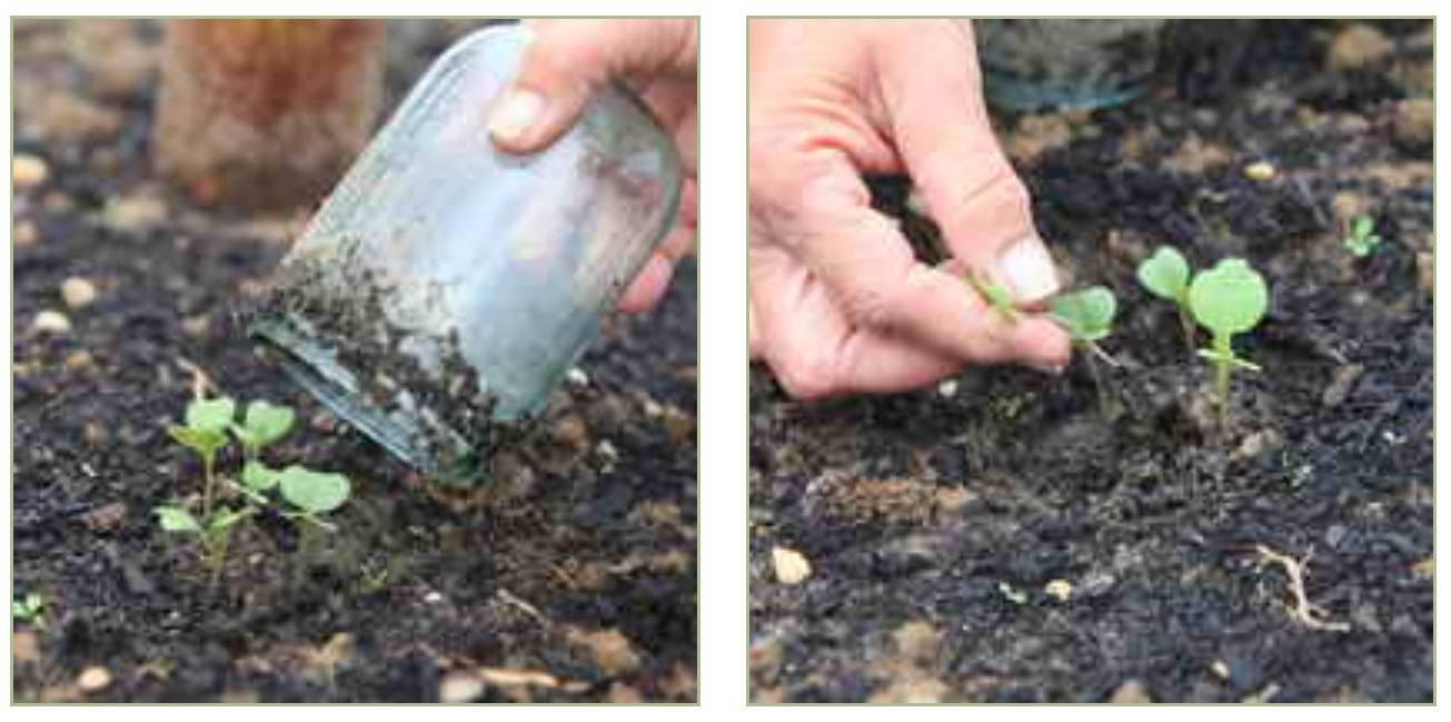 Легкий способ выращивания капусты в открытом грунте