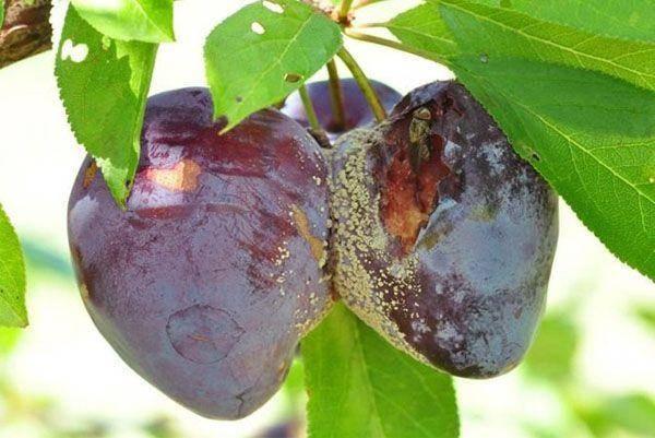 Можно ли сливу опрыскивать уже с плодами