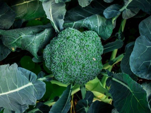 Капуста брокколи · фермерский двор