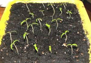 Через сколько дней всходит редис после посева и посадки в открытом грунте, при какой температуре он появляется, а также советы, как ускорить процесс, фото ростков