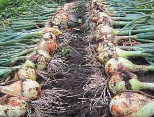 Вырастим лук эксибишен без рассады - общая информация - 2020