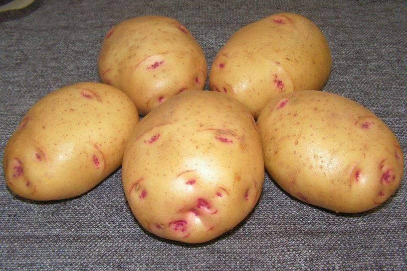 Сорт картофеля тулеевский: характеристика и описание, отзывы, фото
