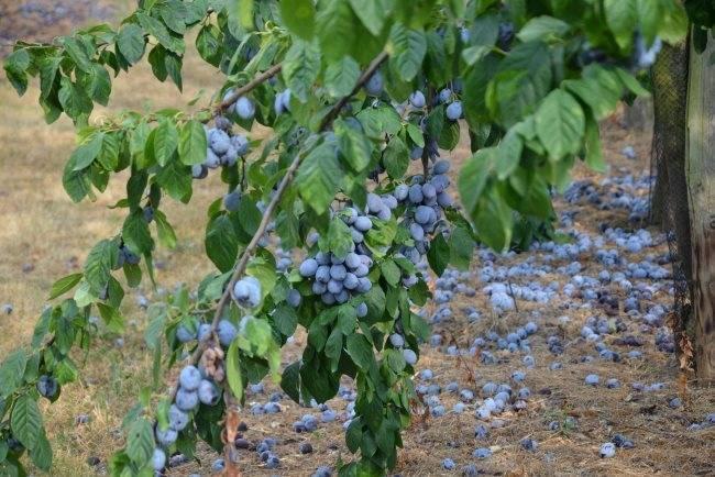 Как подкормить сливу весной: сроки, нормы, советы профессионалов