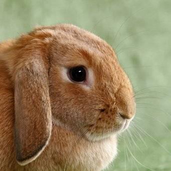 Понос у кролика. как лечить?