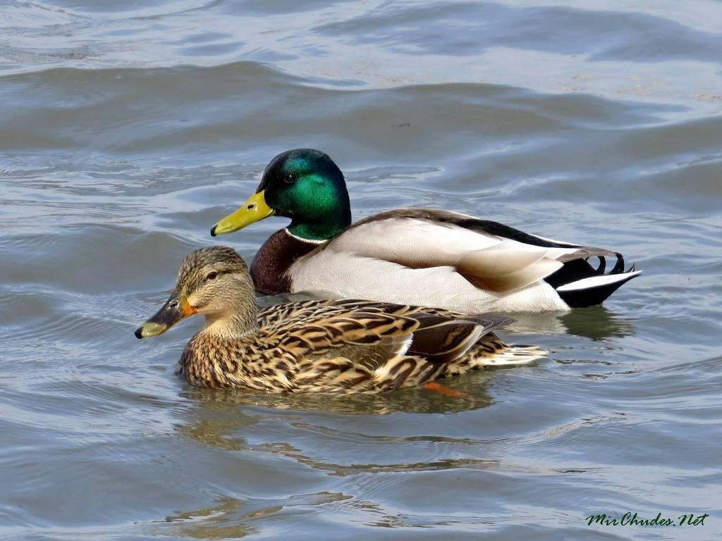 Самец утки - как отличить селезня от утки?