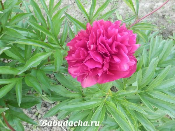 Плохо цветут пионы – основные ошибки ухода