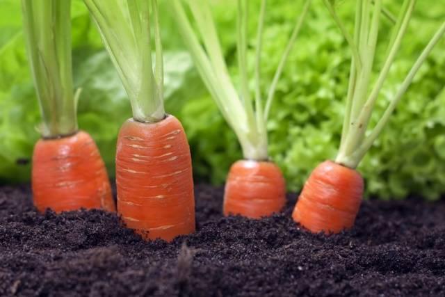 Лучшие и ранние сорта семян моркови для сибири и алтайского края