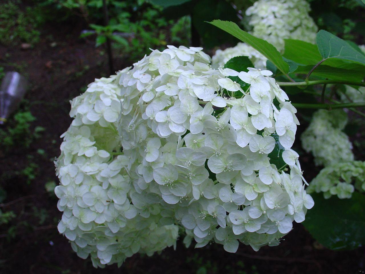 Мелкие цветы у гортензии, что делать: причины и способы устранения проблемы