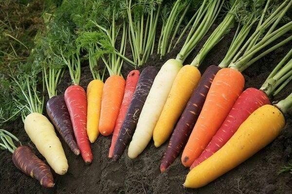 Посадка моркови под зиму: как и когда сажать осенью?
