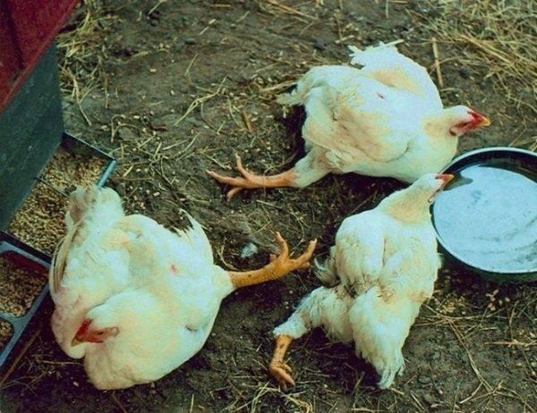 Что делать, если бройлеры чихают, хрипят, поносят: чем лечить недуги домашней птицы