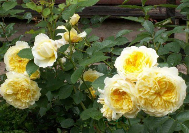 Роза пилигрим
