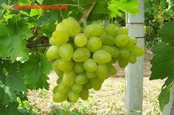 Виноград бажена: описание сорта, фото, отзывы