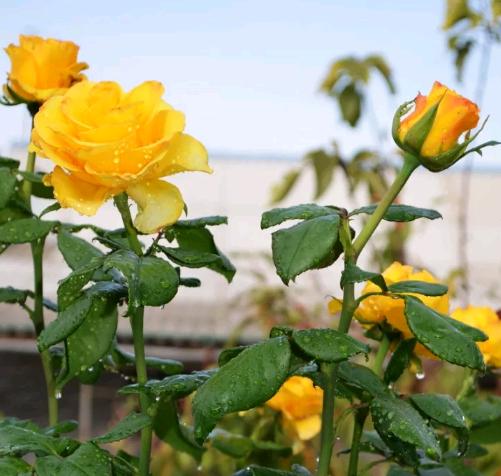 Описание и выращивание розы керио