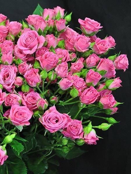 Роза спрей — лучшие сорта, высадка, уход и место в ландшафтном дизайне