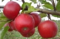 Описание и характеристики сорта яблонь строевское, выращивание и уход