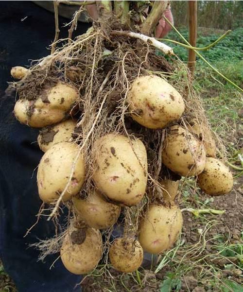 Как получить богатый урожай картофеля: секреты и тонкости агротехники выращивания
