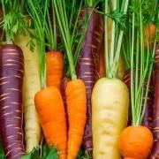 Как правильно сажать морковь весной. сроки посадки по лунному календарю 2019