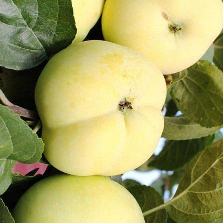 Особенности посадки яблони сорта аркадик и ухода за ней