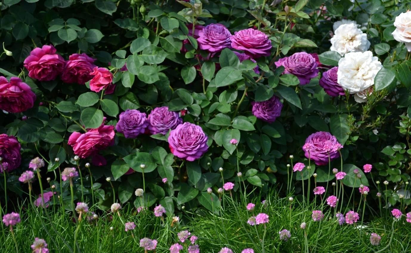 Rosa 'heidi klum rose'