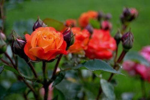 Особенности ухода за чайными розами в горшках
